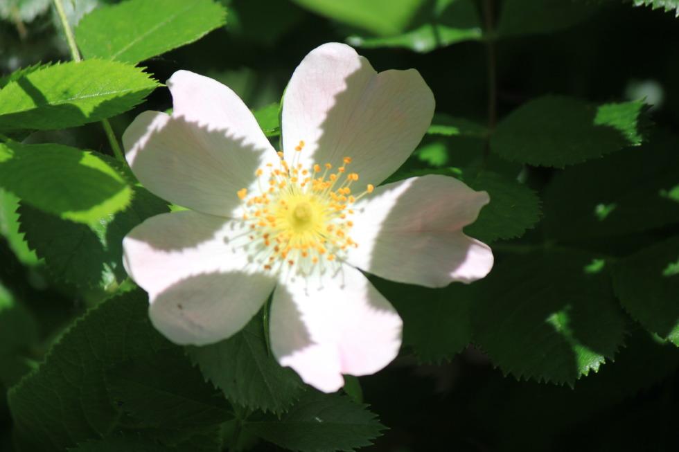 Cherokee rose in half-shade