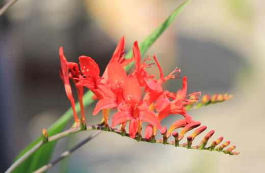 Montbretia Lucifer flower