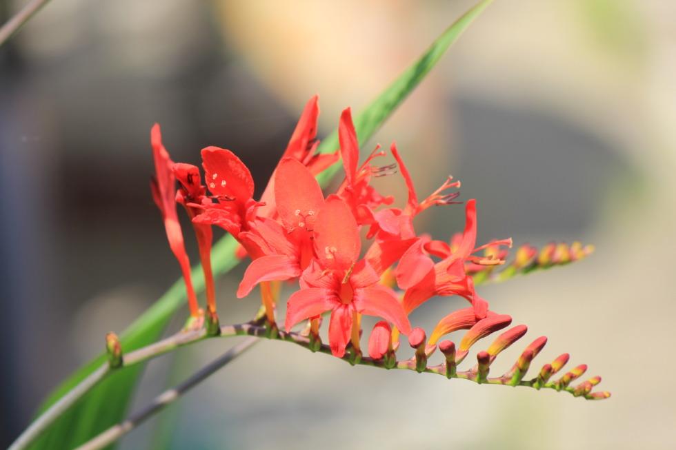 Montbretia Lucifer flower