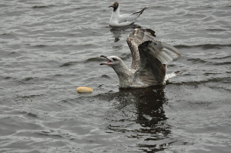 Seagull defends a bun