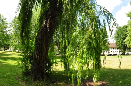 Weeping willow in Goslar's urban park