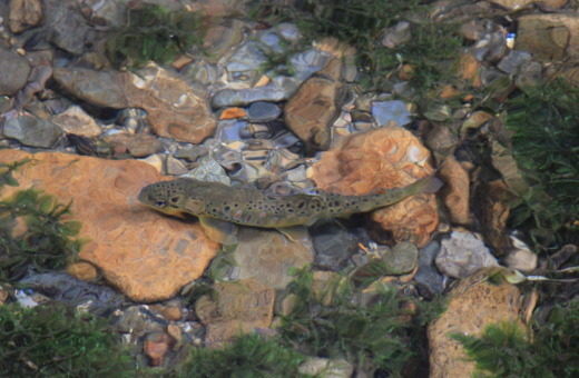 Wild German brown trout