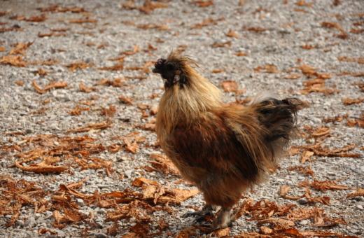 Silky fowl at Wimbachschloss