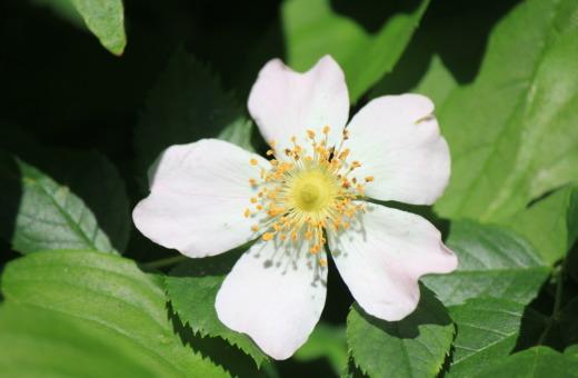 White cherokee rose in the sun
