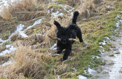 Black poodle-mix running with stick