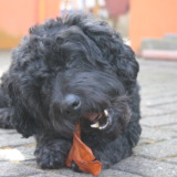 Black poodle mix with chew toy