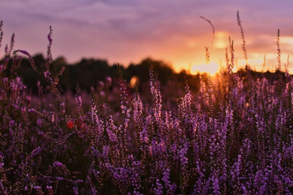 Blooming heather at Westruper Heide
