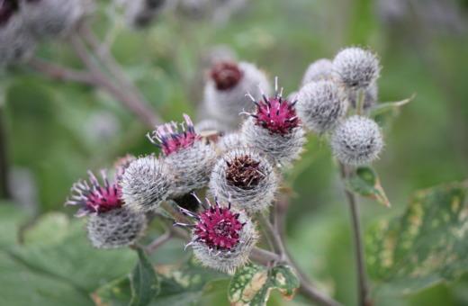 Greater burdock blooming