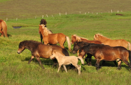 Group of Icelandic horses on a meadow