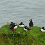 Group of puffins in Iceland