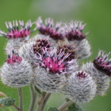 Pink blossom of greater burdock