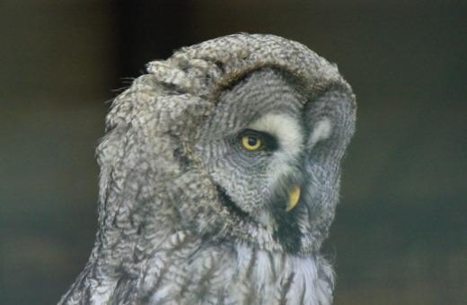Portrait of an Ural owl