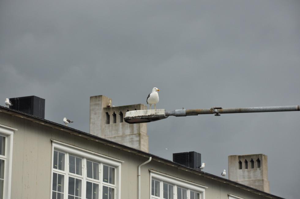 Seagull on a lantern in Reykjavík harbor