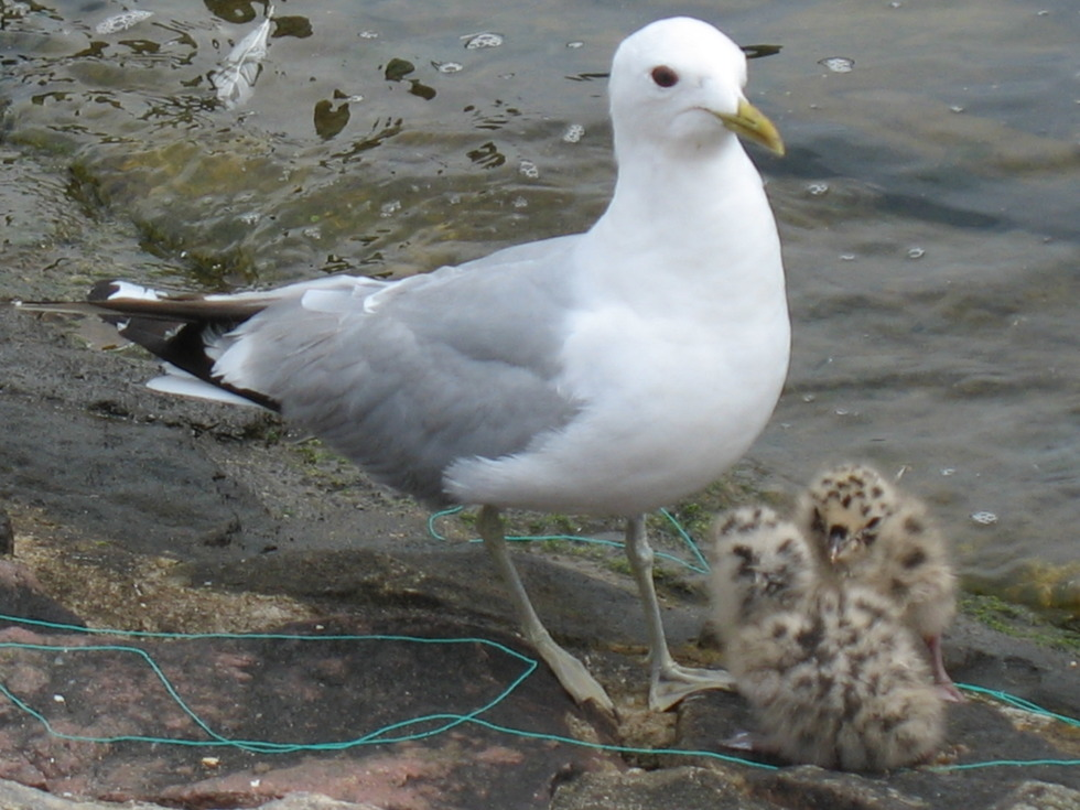 Seagull with two hatchlings