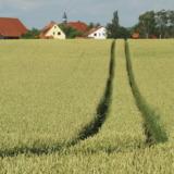 Tractor tracks in cornfield