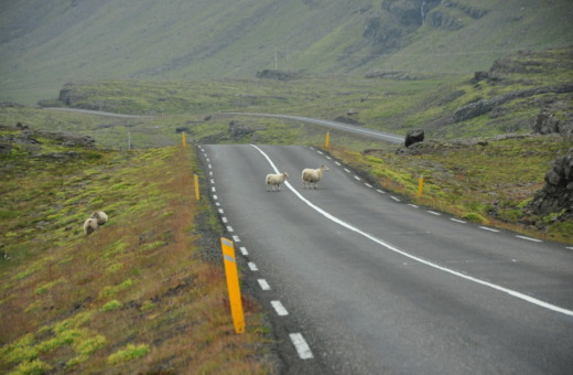 Two sheep on a lonely road in Iceland