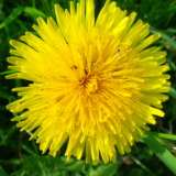 Yellow dandelion flower from above