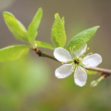 Single apple-blossom